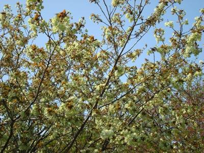 雲南市三刀屋町 緑の桜「御衣黄(ぎょいこう)」