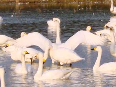 浜佐田・古志付近の田んぼにいる白鳥