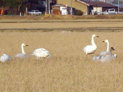 浜佐田の白鳥 2009