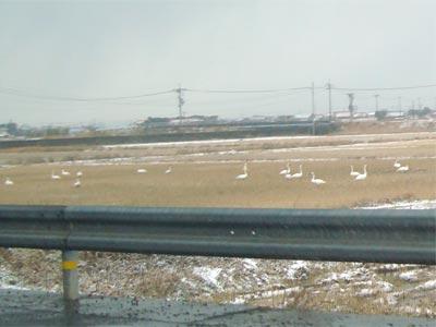 宍道町空港入口の白鳥 2009
