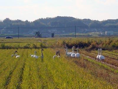 浜佐田周辺の白鳥