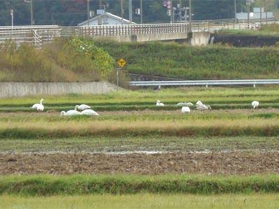出雲空港付近の白鳥