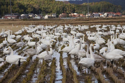 浜佐田の白鳥 2010