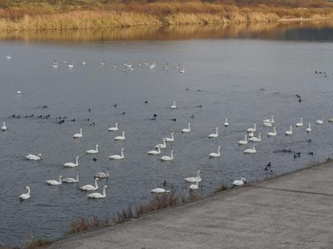 斐伊川の白鳥 2010