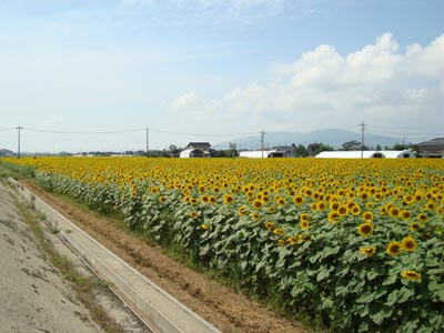 斐川町のひまわり畑
