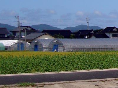 2009年9月 斐川のひまわり