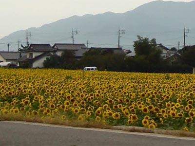 斐川町 ヒマワリ畑