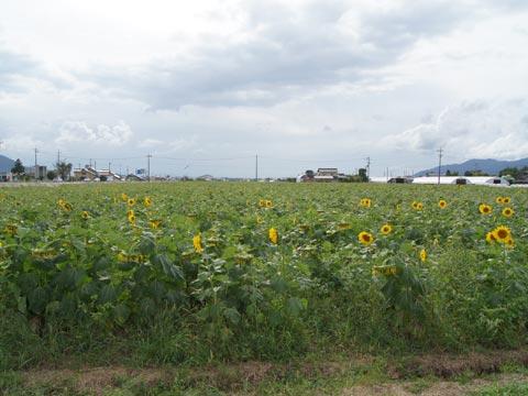 斐川町のひまわり 2010
