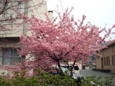雲南市役所裏の河津桜