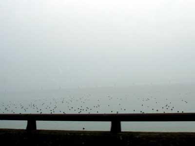 冬の宍道湖 キンクロハジロ
