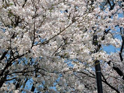 木次の桜2008