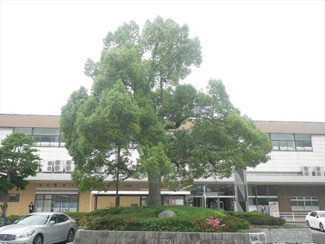 松江駅南口駐車場 クスノキ?