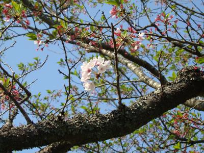 三刀屋川堤防 粘る桜