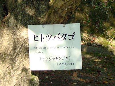 松江城山公園のなんじゃもんじゃ(ヒトツバタゴ)