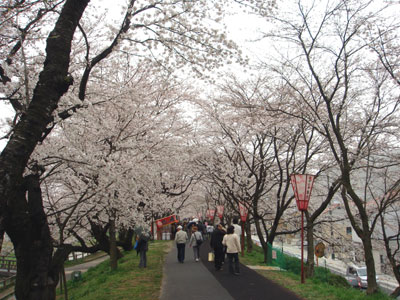 斐伊川堤防桜並木1