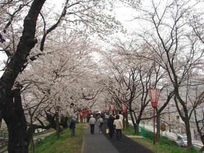 斐伊川堤防の桜並木