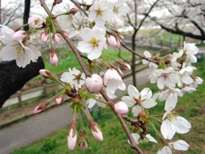 斐伊川堤防桜並木2