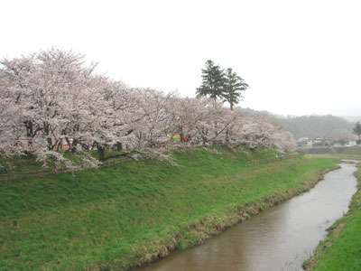 斐伊川堤防桜並木3
