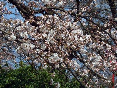 2009年木次斐伊川堤防の桜