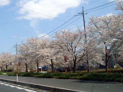桜の開花状況 木次