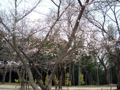 桜の開花状況 緑山公園