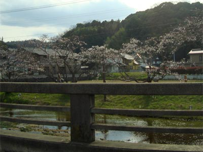 桜の開花状況 玉湯