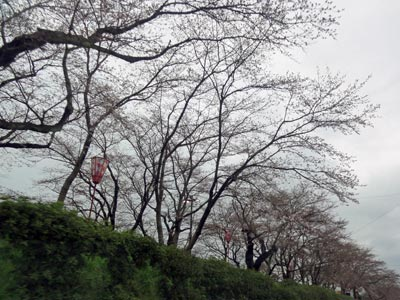 木次の桜2010