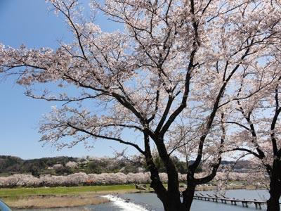 木次の桜2010 まだ見頃