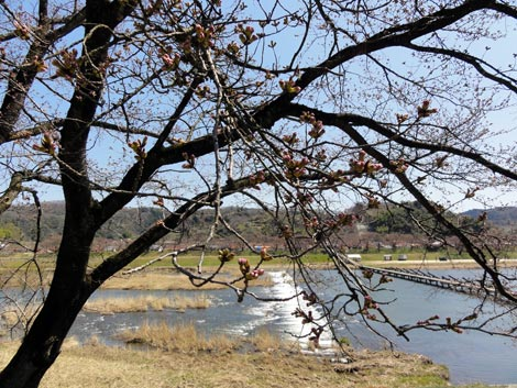 木次の桜2011