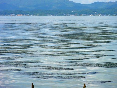 宍道湖のアオコ 2012