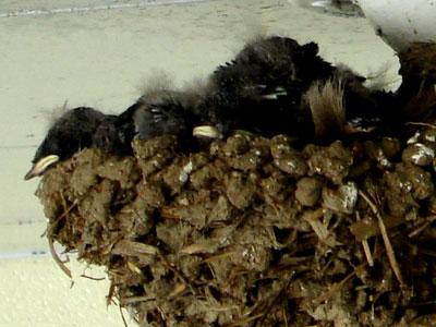 ツバメの雛(2つ目の巣)