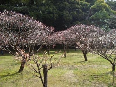 松江城の梅