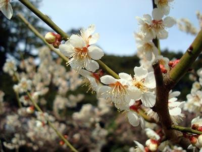 松江城の梅 白加賀