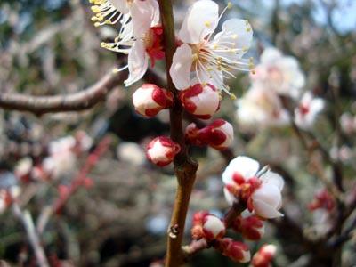 松江城の梅 鴬宿梅