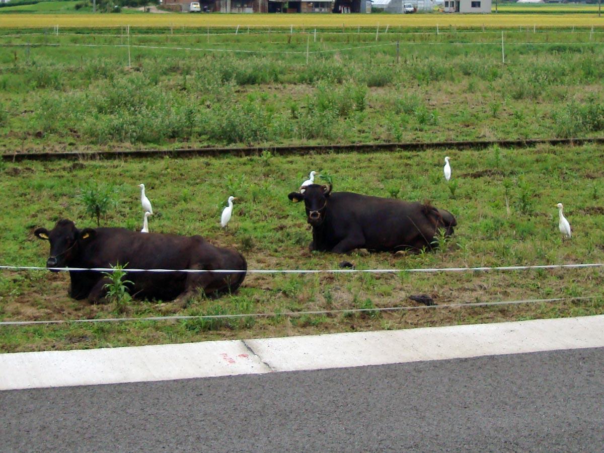 斐川町神氷の放牧牛