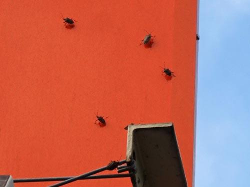 コインランドリー壁面のカメムシ