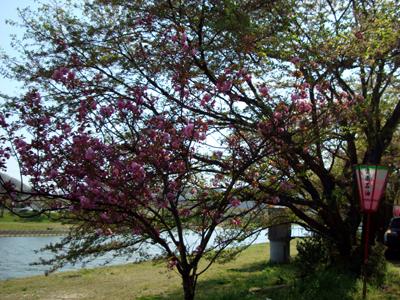 三刀屋川堤防 八重桜