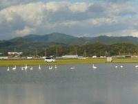 浜佐田周辺の白鳥 2009