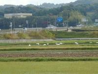 出雲空港周辺の白鳥