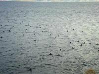 宍道湖、カモ類6万羽