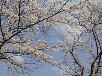 木次公園の桜 2009