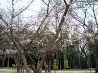 桜の開花状況2009
