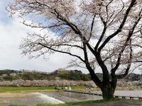 木次の桜2010 ほぼ満開