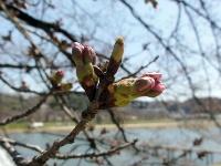 木次の桜2011 今日にも開花