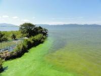 宍道湖のアオコ