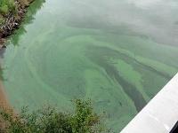 今年も宍道湖にアオコ発生